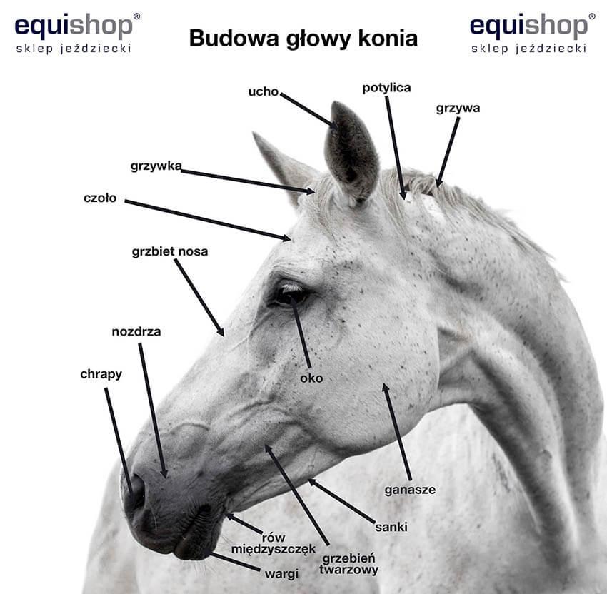 Budowa głowy konia
