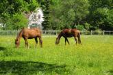 Poisonous plants – what might impair your horse's health, part 2